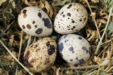 Free Quail Eggs Stock Photos - 13878323