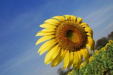Free Sunflower Against The Wind Stock Images - 13878384