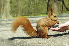 Free Feeding Squirrel Stock Photography - 13879712
