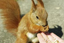 Free Feeding Squirrel Stock Image - 13879731