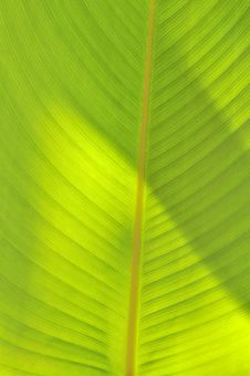 Free Green-yellow Leaf Royalty Free Stock Photos - 13879748