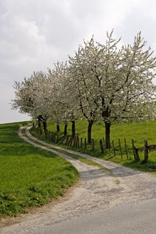 Footpath With Cherry Trees In Hagen Royalty Free Stock Photo