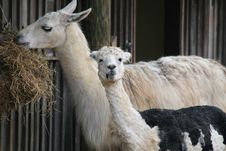 Free Mother And Baby  Llama Royalty Free Stock Photos - 13879918