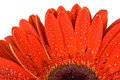 Free Part Of Red Gerbera Flower Stock Photo - 13883380