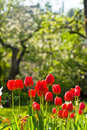 Free Red Tulips Stock Photo - 13885950