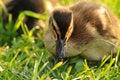 Free Duck 006 Stock Photo - 13886170