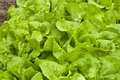 Free Lettuce  Planting Royalty Free Stock Photos - 13887138