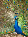 Free Peacock Is Open Wings Stock Images - 13887334