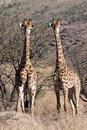 Free Double Alert Giraffe Royalty Free Stock Photography - 13887827