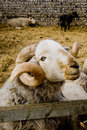 Free A Ram And Sheep Royalty Free Stock Image - 13889676
