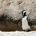 Free African Penguins Stock Image - 13889681