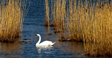 Free Swan Royalty Free Stock Photography - 13881127
