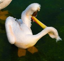 Free White Pelican Stock Photography - 13881382