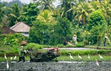 Free Rice Field Ploughing Stock Photos - 13881663