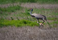 Free Sandhill Crane With Baby Stock Image - 13882471