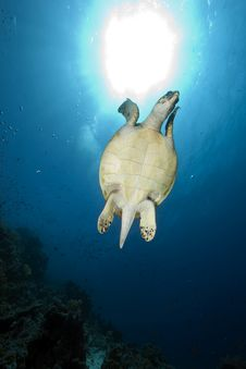 Free Hawksbill Turtle And Ocean Stock Photos - 13882833