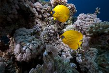Free Butterflyfish And Ocean Royalty Free Stock Photography - 13882897