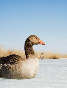 Free Goose Used As Bait In Hunting Stock Photo - 13882990