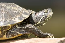 Free Red Eared Turtle Stock Images - 13883034