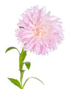 Free Pink Aster Stock Photography - 13883382