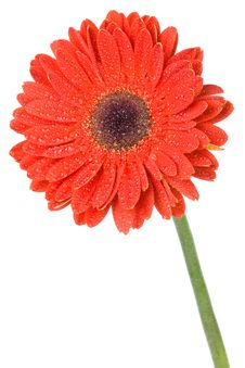 Free Red Gerbera Flower Royalty Free Stock Photo - 13883405