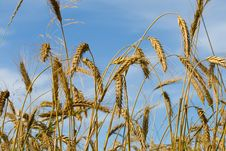 Ripe Rye Ears Against A Blue Sky Royalty Free Stock Images