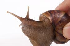 Free Snail Macro Royalty Free Stock Photos - 13883558