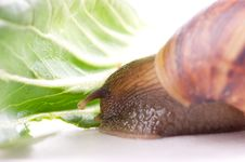 Free Snail Macro Royalty Free Stock Images - 13883649
