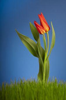 Free Tulip Stock Image - 13885001