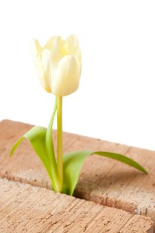 Free Tulip Growing Between Two Bricks. Isolated. Royalty Free Stock Photo - 13885055