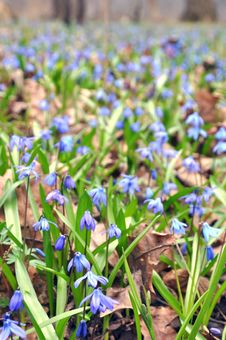 Free Blue Snowdrops Royalty Free Stock Photography - 13885867