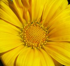 Free Gazania Royalty Free Stock Images - 13886539