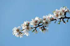 Free Spring Sakura Blossom Closeup Stock Image - 13887071
