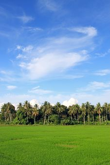 Free Paddy Field Stock Images - 13887074