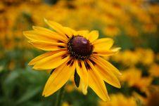 Florists Chrysanthemum Royalty Free Stock Photos