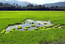 Free Paddy Field Royalty Free Stock Images - 13887159