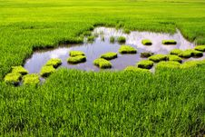 Free Paddy Field Royalty Free Stock Photos - 13887218