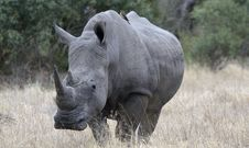 Free Lone Rhino Stock Photography - 13887602