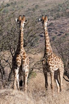 Free Double Alert Giraffe Royalty Free Stock Photography - 13887827