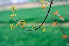 Free Poplar Tree In Spring Stock Images - 13889064