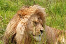 Free Resting Lion In Bush Stock Images - 13889694