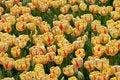 Free Beautiful Tulips Royalty Free Stock Photo - 13890705