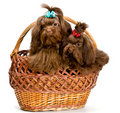 Free Two Lap Dogs In A Basket Stock Images - 13891164