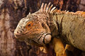 Free Green Iguana Royalty Free Stock Image - 13895326