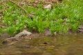 Free Ramsons (Allium Ursinum) Stock Image - 13899241