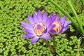 Free Water Lily Stock Image - 13899741