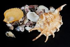 Free Sea Seashells Royalty Free Stock Images - 13890089