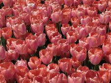 Free Beautiful Tulips Royalty Free Stock Image - 13890646
