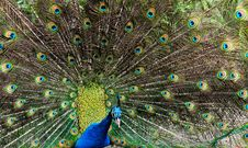 Free Beautiful Peacock Stock Photography - 13890692