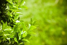 Free Lighted Green Leafs Of The Tree Royalty Free Stock Images - 13890749